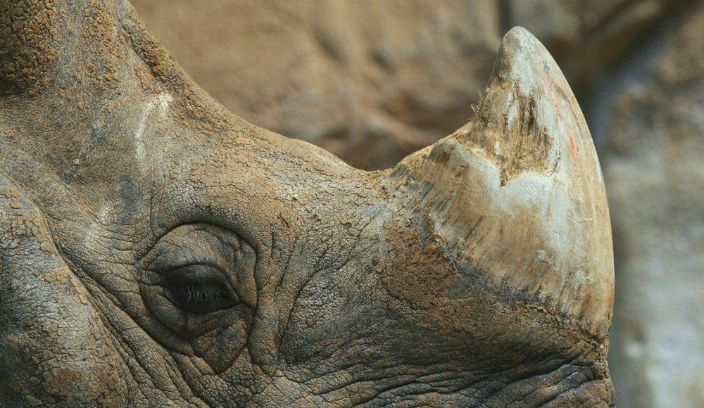 Cuernos frontales de los rinocerontes