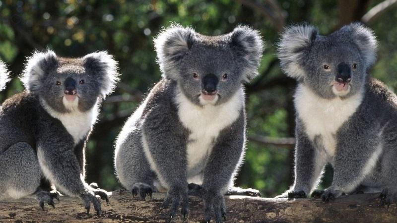 Curiosidades sobre los koalas