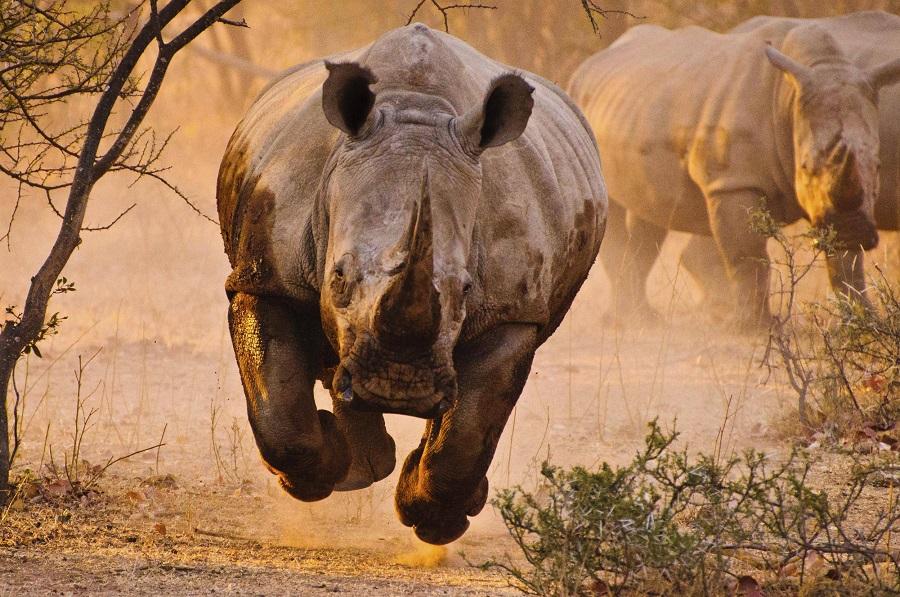 Curiosidades sobre los rinocerontes
