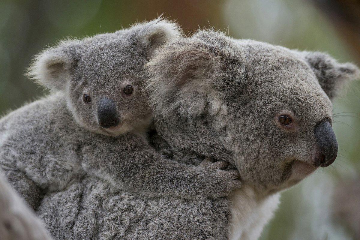 Datos básicos sobre los koalas