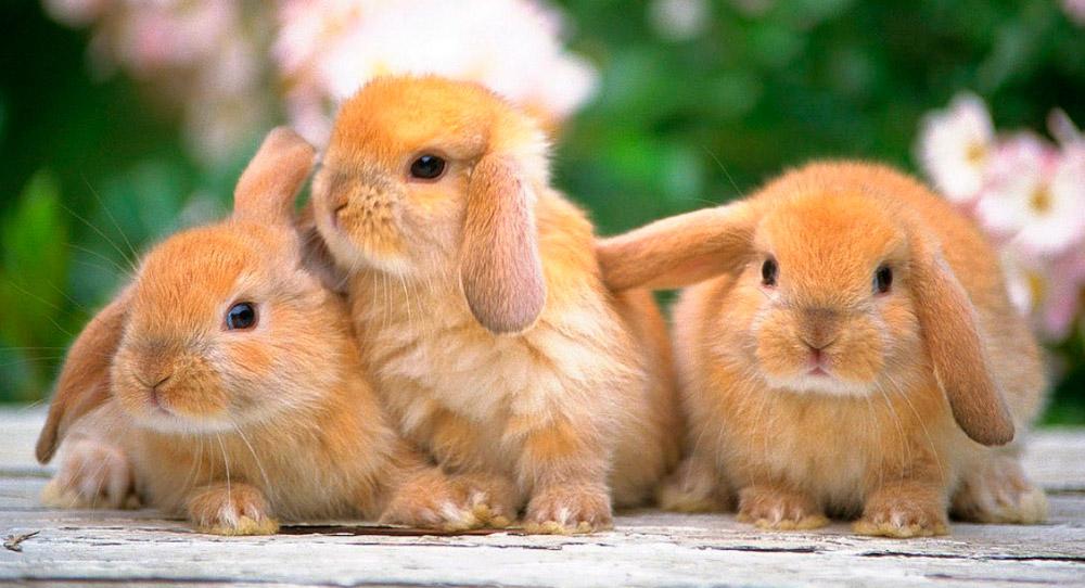 Informacion curiosa sobre conejos