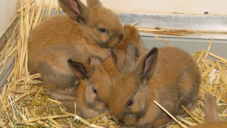 Los conejos no se reproducen como conejos