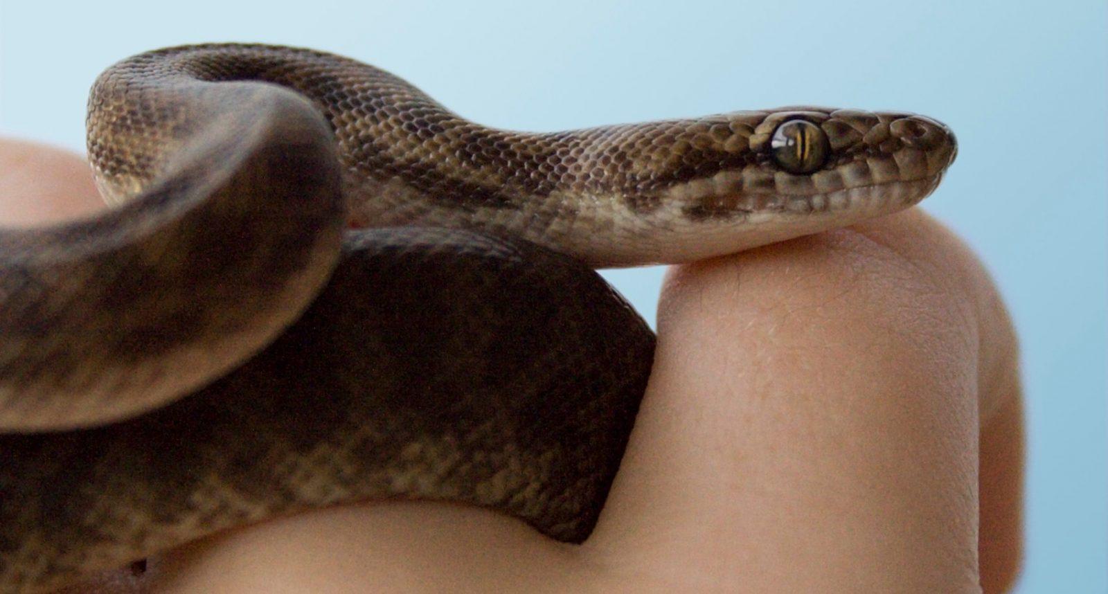 Serpientes como mascotas
