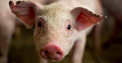 Un cerdo sustituirá al pulpo Paul