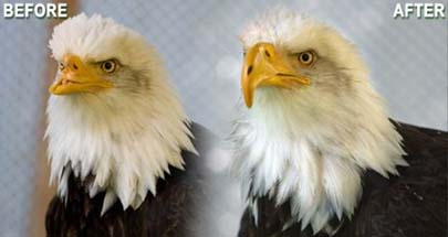 Reparan el pico de un águila con una impresora 3D