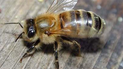Abejas que producen miel de color azul y verde