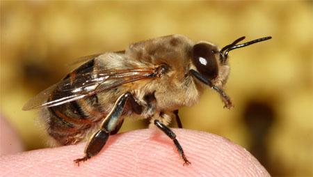 Estudiante se deja picar en los testículos por abejas para su investigación sobre el dolor