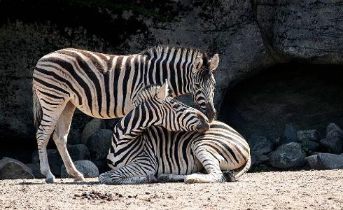cebras.jpg