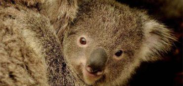 fauna-koala.jpg
